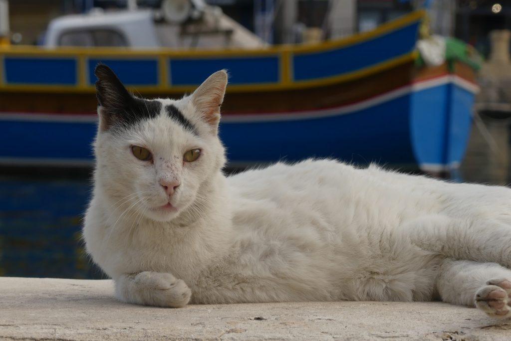 Katze in St. Julians Malta