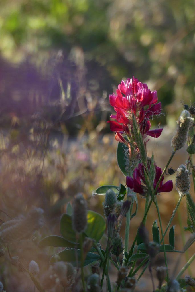 Blume auf Gozo Malta