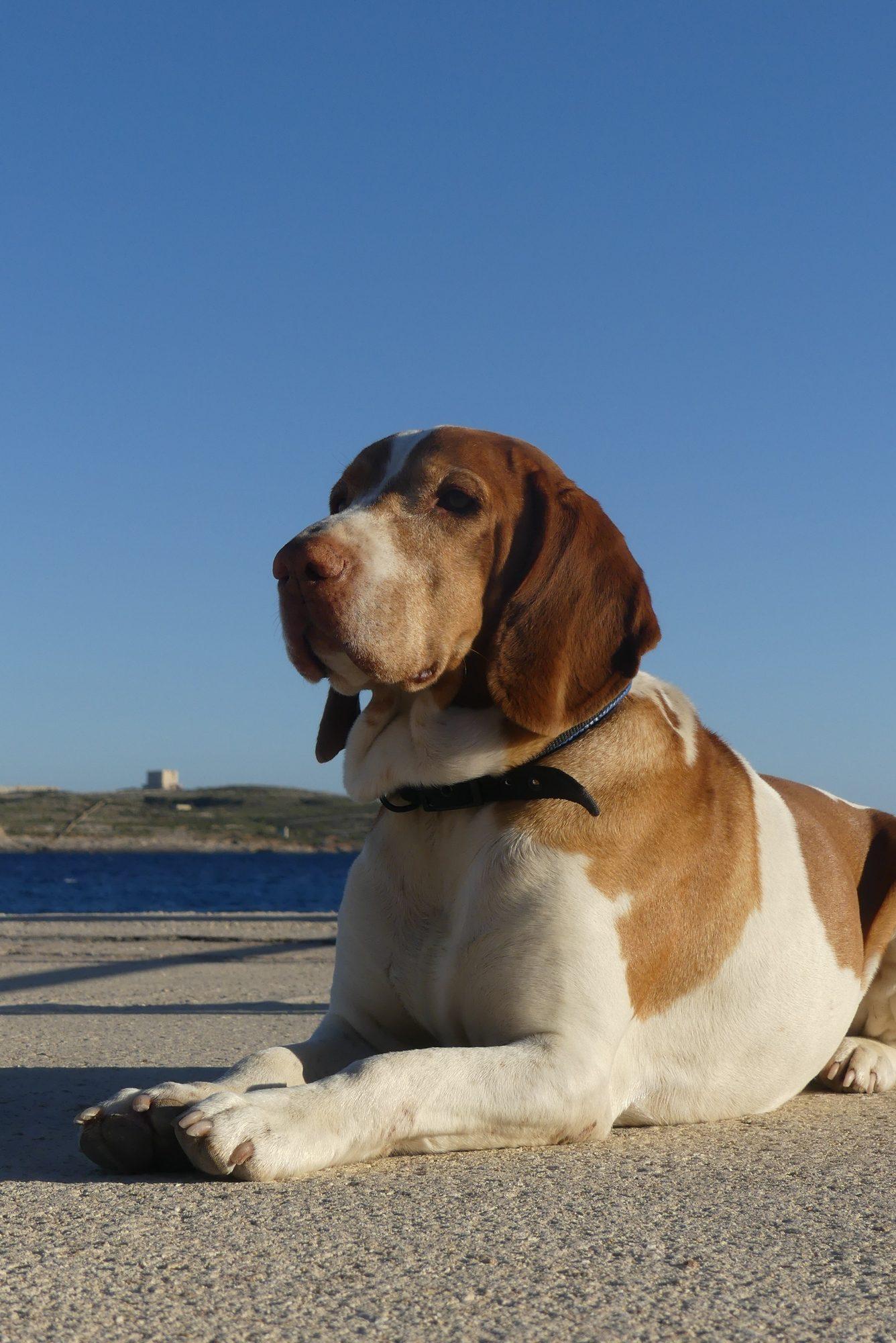 Hund in der Hondoq Bay auf Gozo mit Blick auf Comino Malta