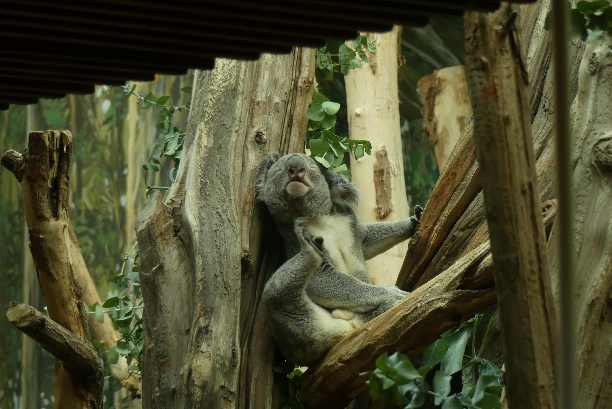 Koala Oobi-Ooobi im Zoo Leipzig