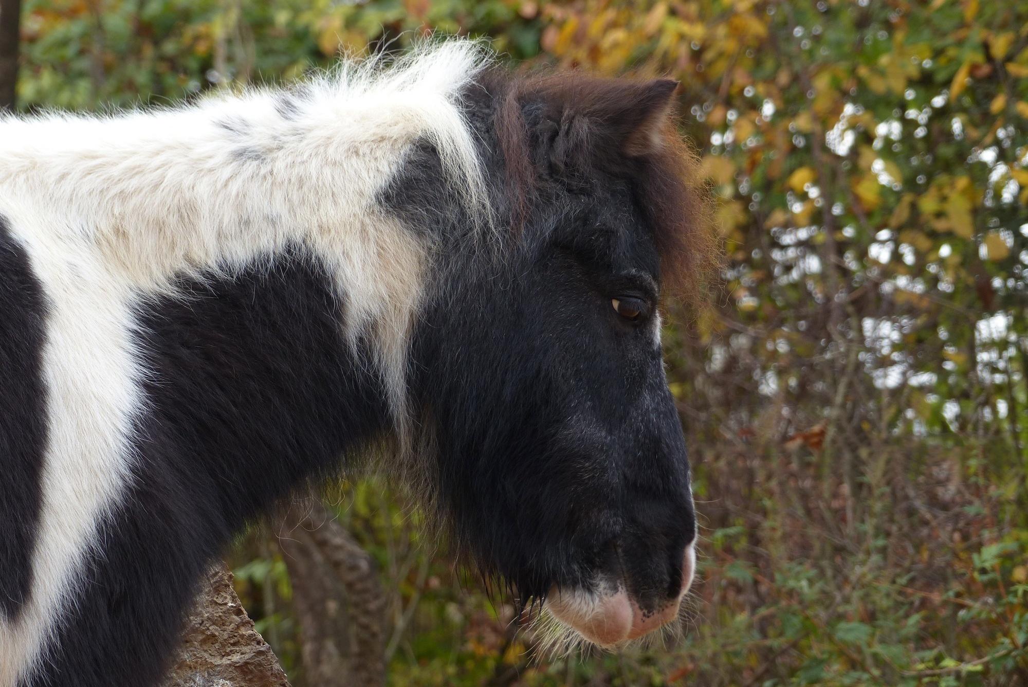Shetlandpony im Tierpark Hellabrunn