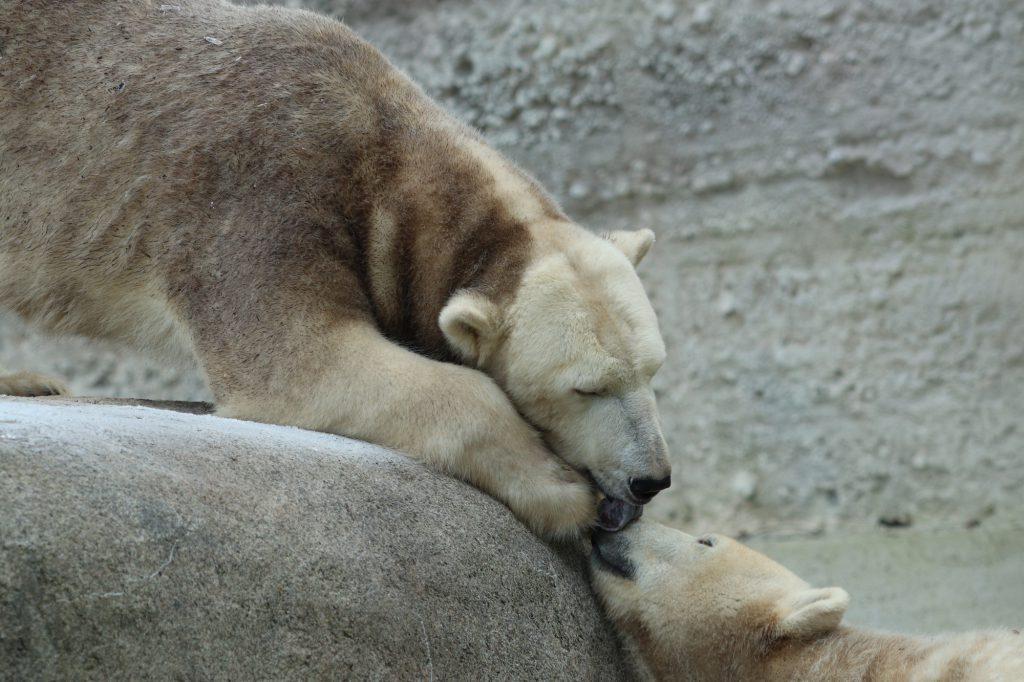 Eisbärin Giovanna und Tochter Quintana im Tierpark Hellabrunn