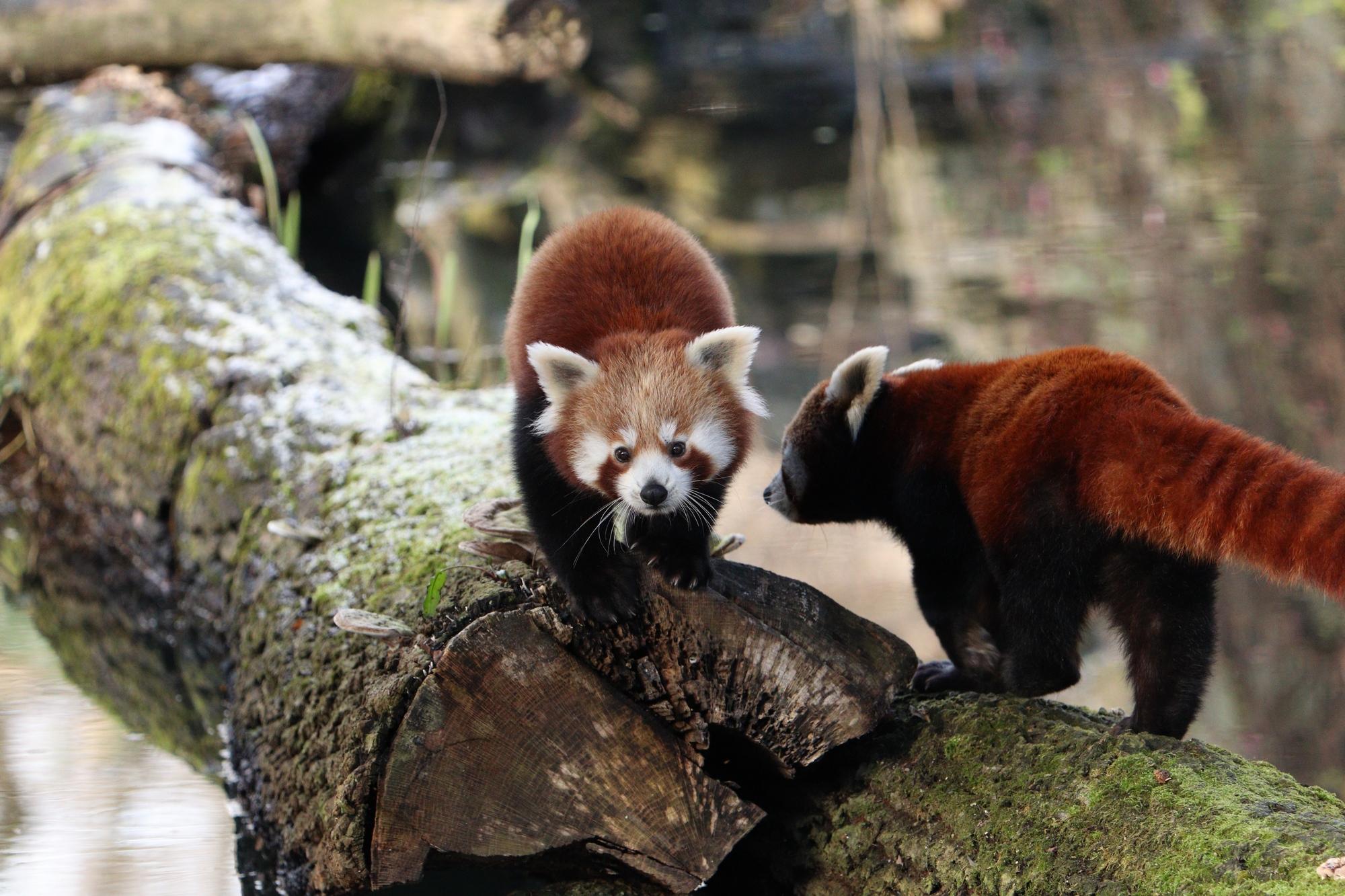 Rote Pandadame Miu und Tochter Shamina im Tierpark Hellabrunn