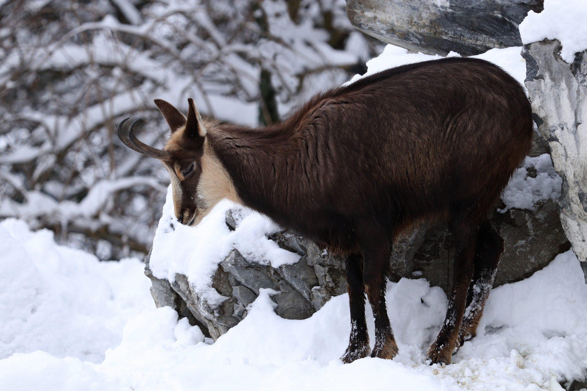 Gämse Alpenzoo Innsbruck