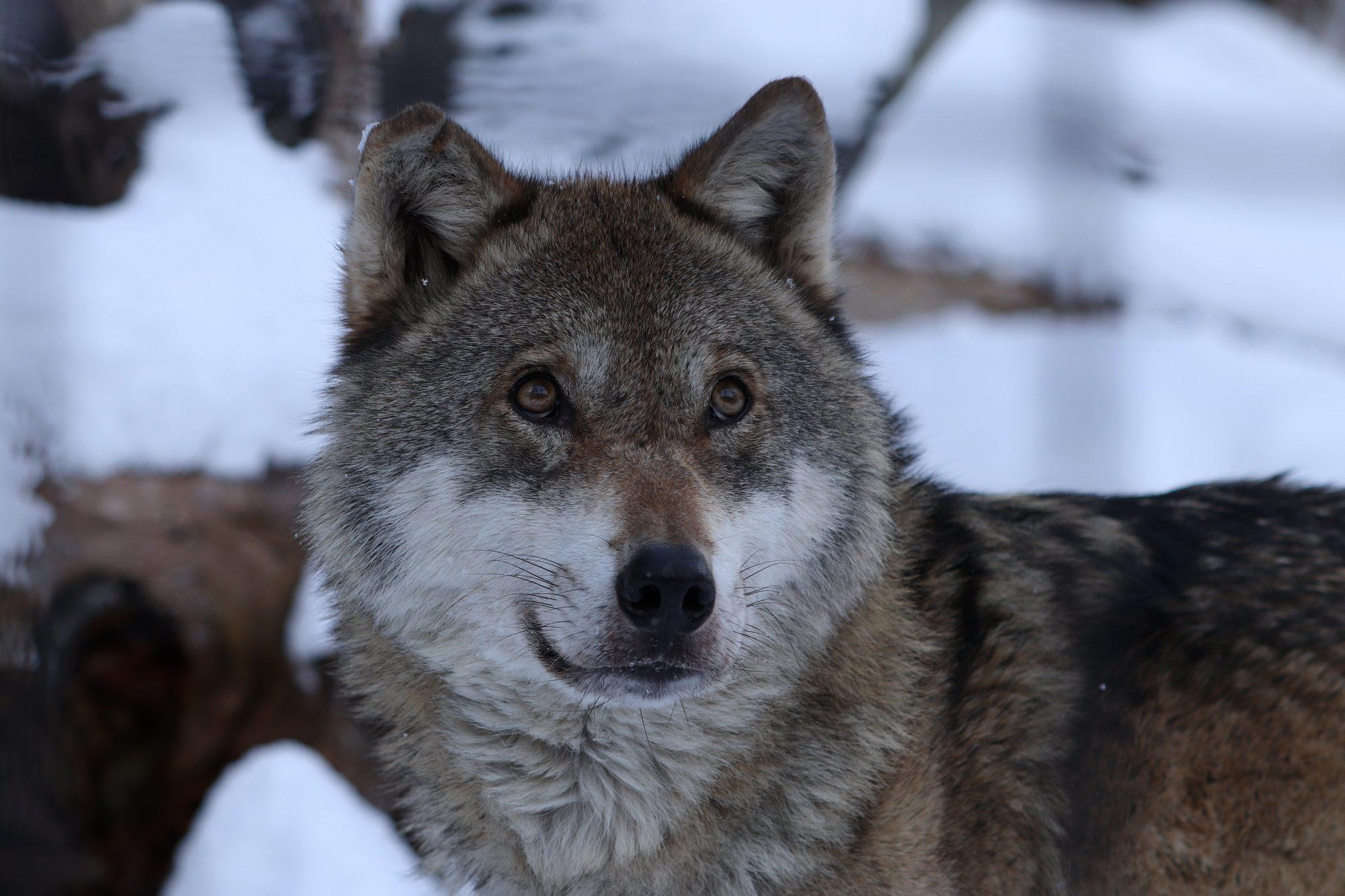 Europäischer Wolf Alpenzoo Innsbruck
