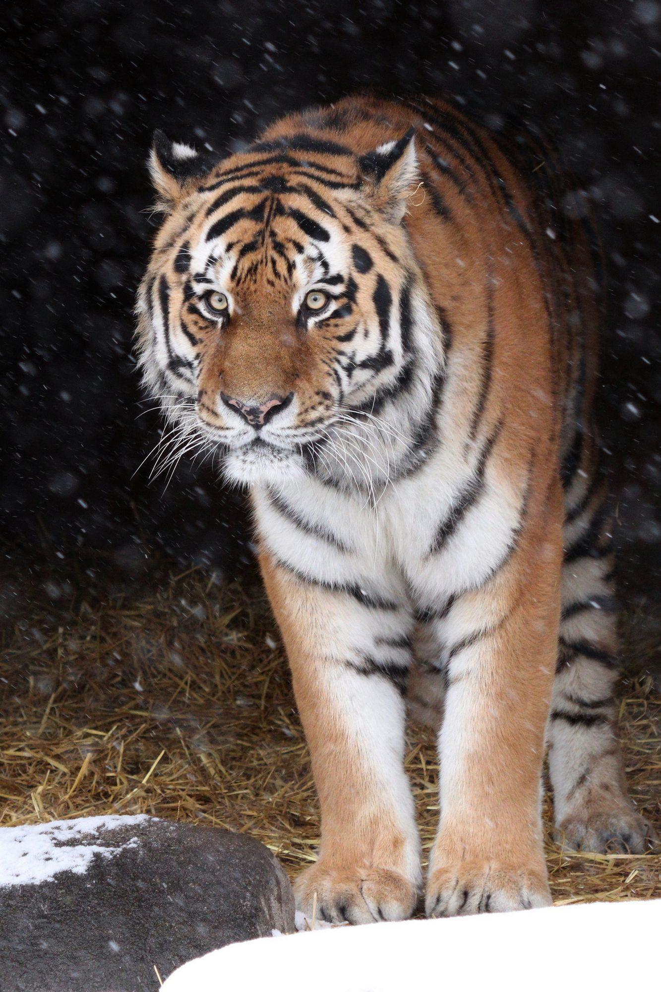 Sibirische Tiger Jegor im Tierpark Hellabrunn