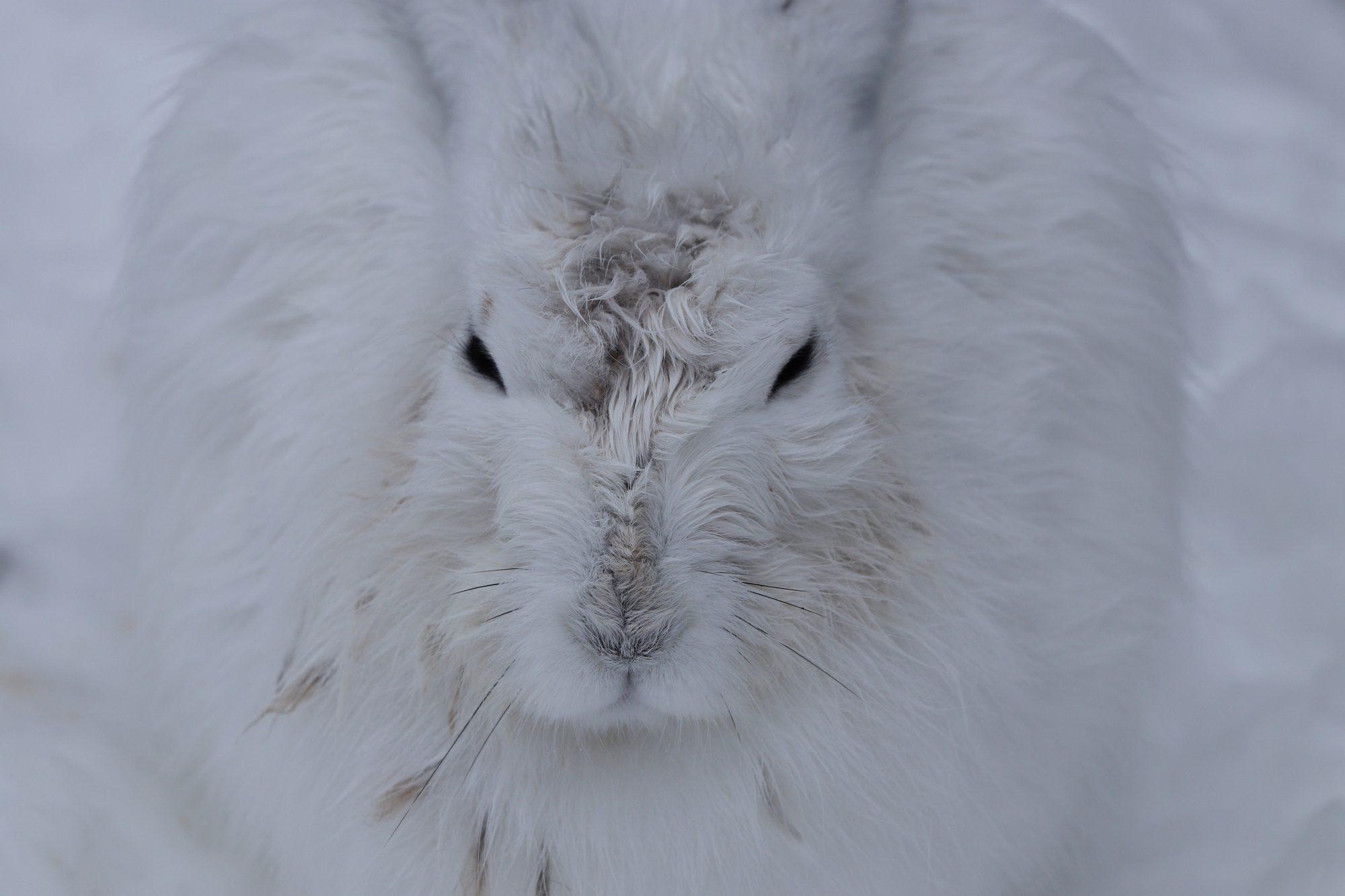 Schneehase im Tierpark Hellabrunn