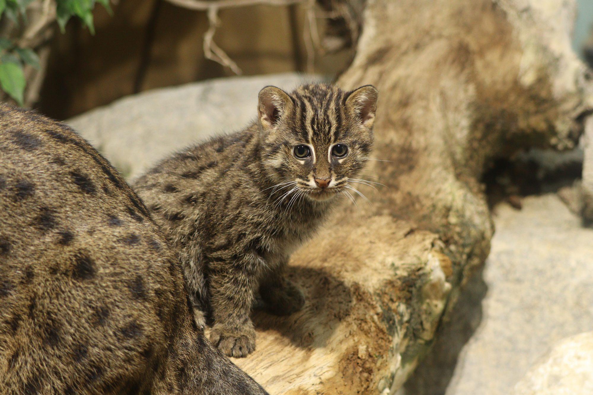 Fischkatzenjungtier im Tierpark Hellabrunn