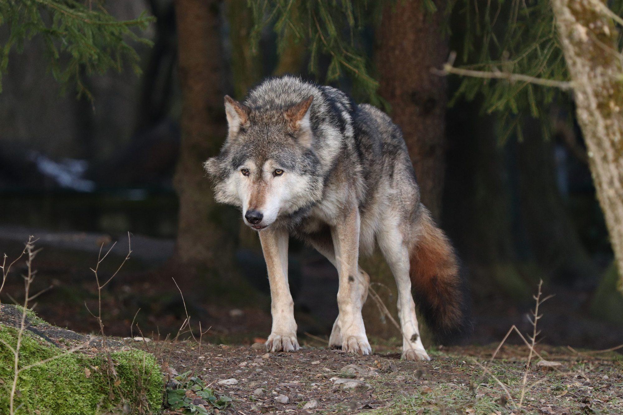 Europäischer Wolf im Tierpark Hellabrunn