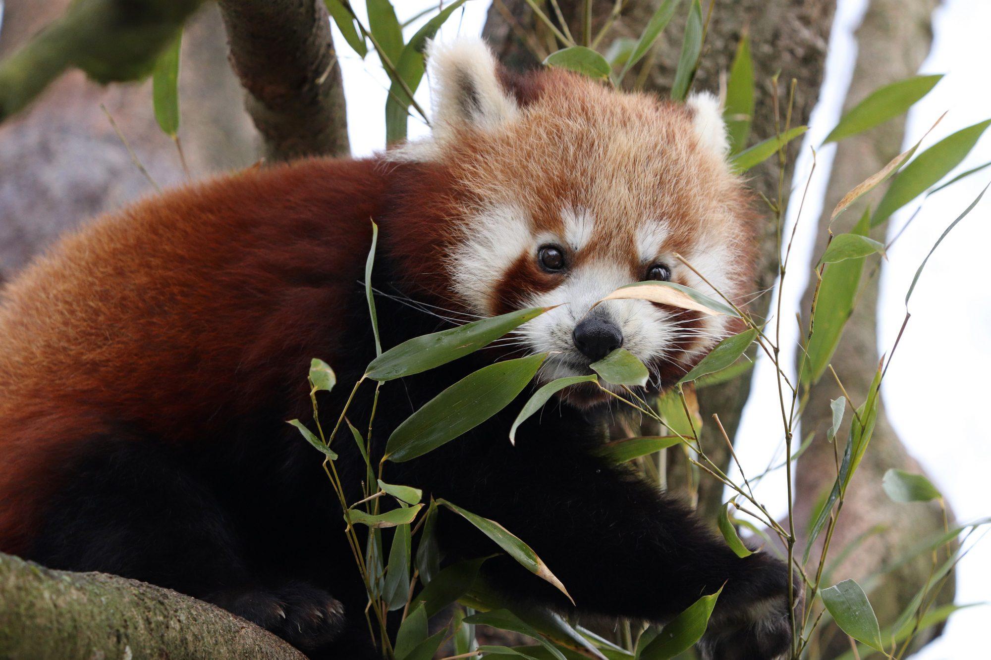 Rotes Pandajungtier Shamina im Tierpark Hellabrunn