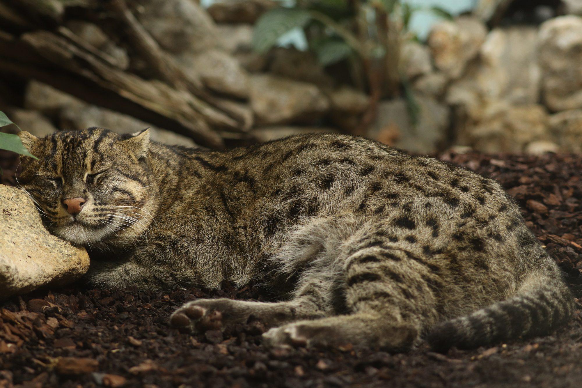 Fischkatzenkater Sangke im Tierpark Hellabrunn