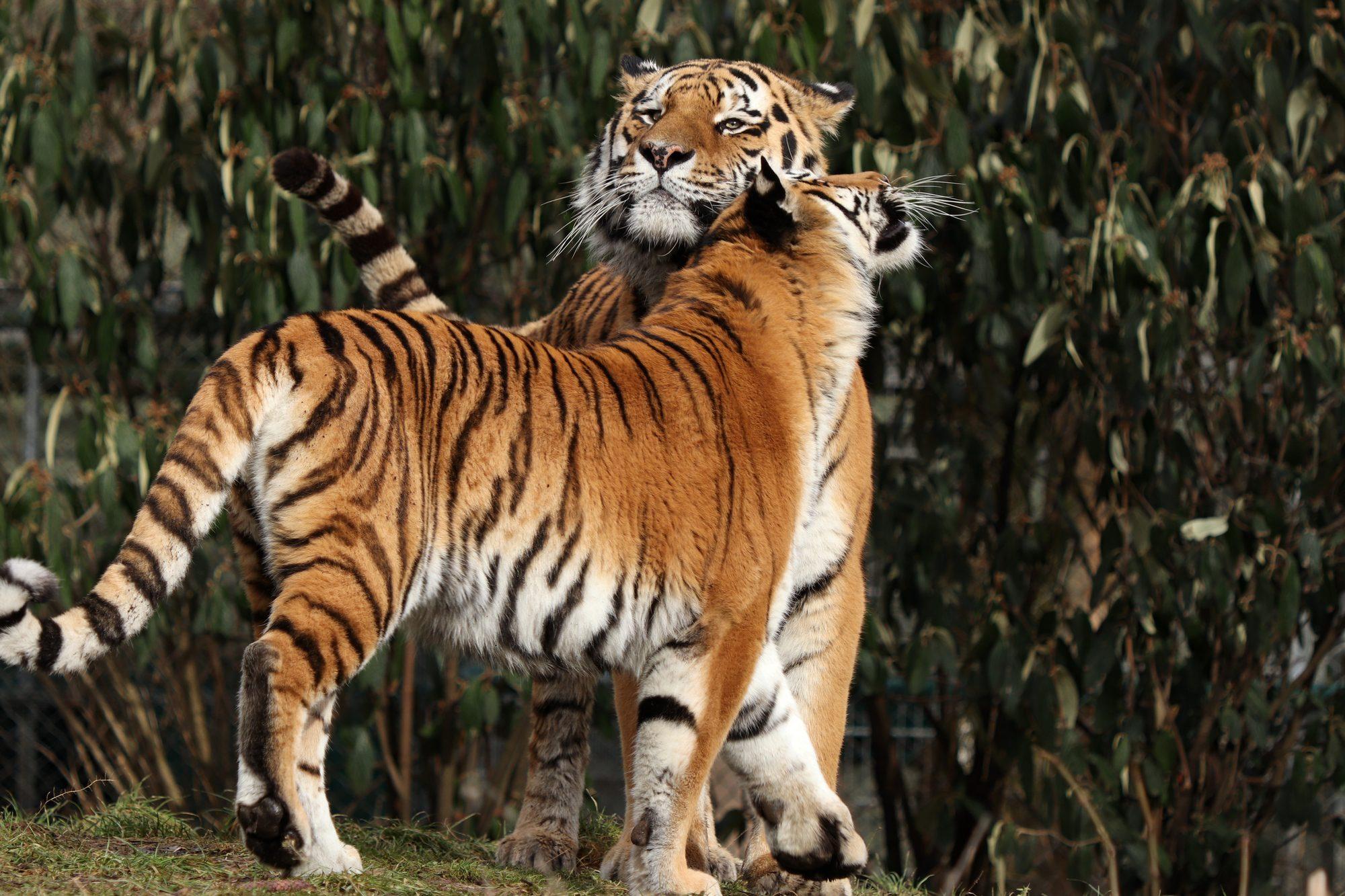Sibirische Tiger Jegor und Ahimsa im Tierpark Hellabrunn