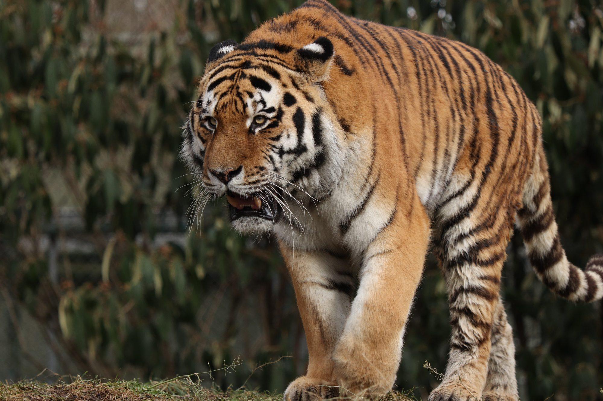 Sibirischer Tiger Jegor im Tiepark Hellabrunn