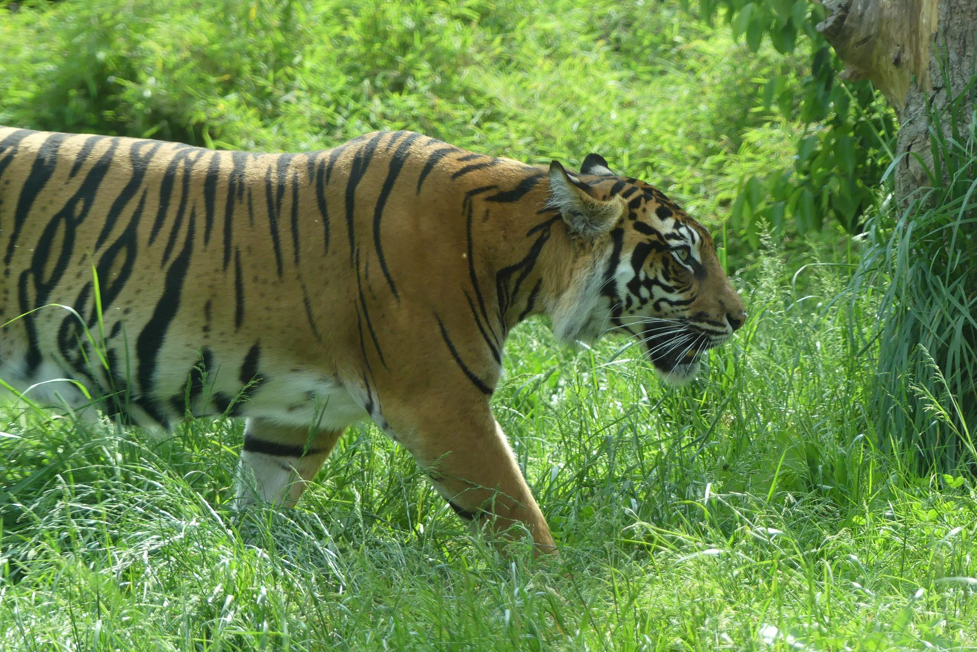Sumatra Tigerin Melati im ZSL London Zoo