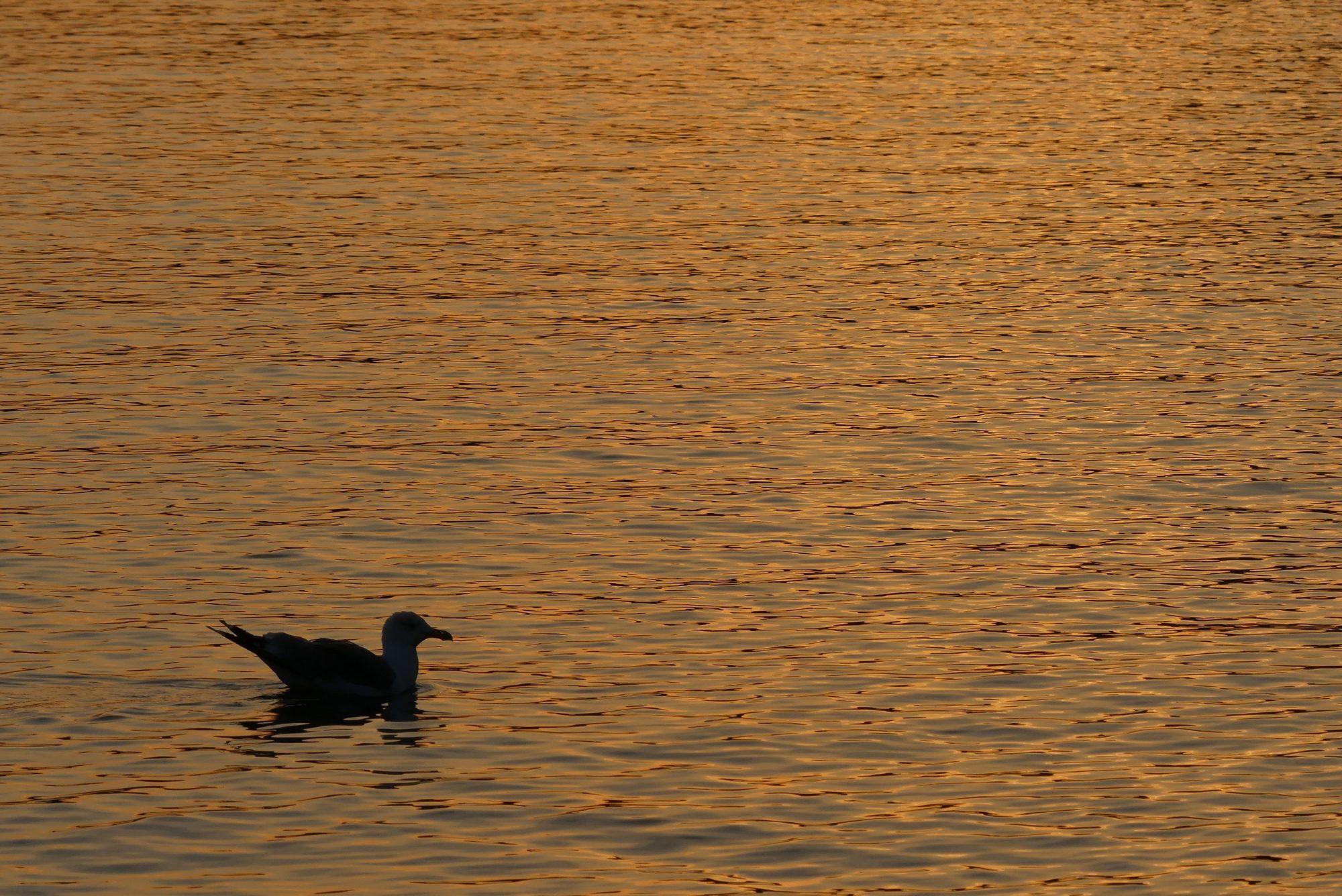 Möwe im Sonnenuntergang in der Bucht von Agay Cote d'Azur