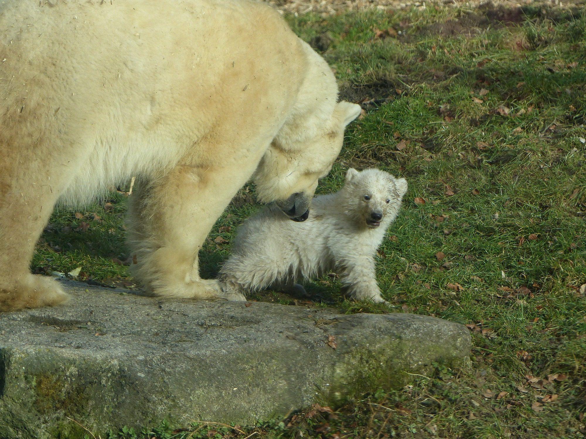 Eisbärin Giovanna und Tochter Quintana im Tierpark Hellabrunn Februar 2017