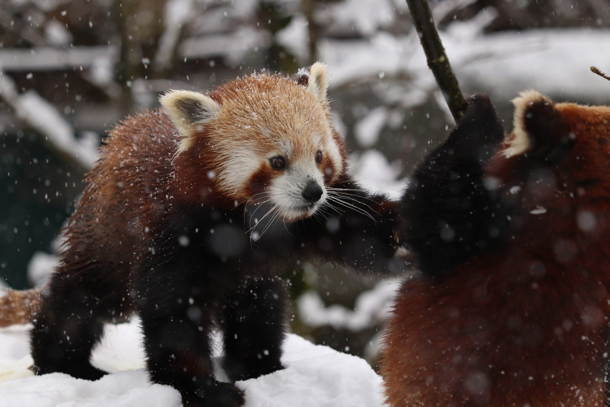 Rote Pandas Justin und Shamina im Tierpark Hellabrunn