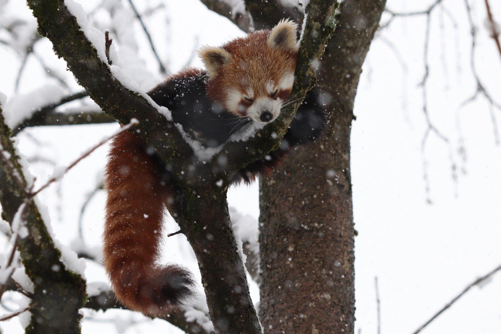 Roter Panda Shamina im Tierpark Hellabrunn