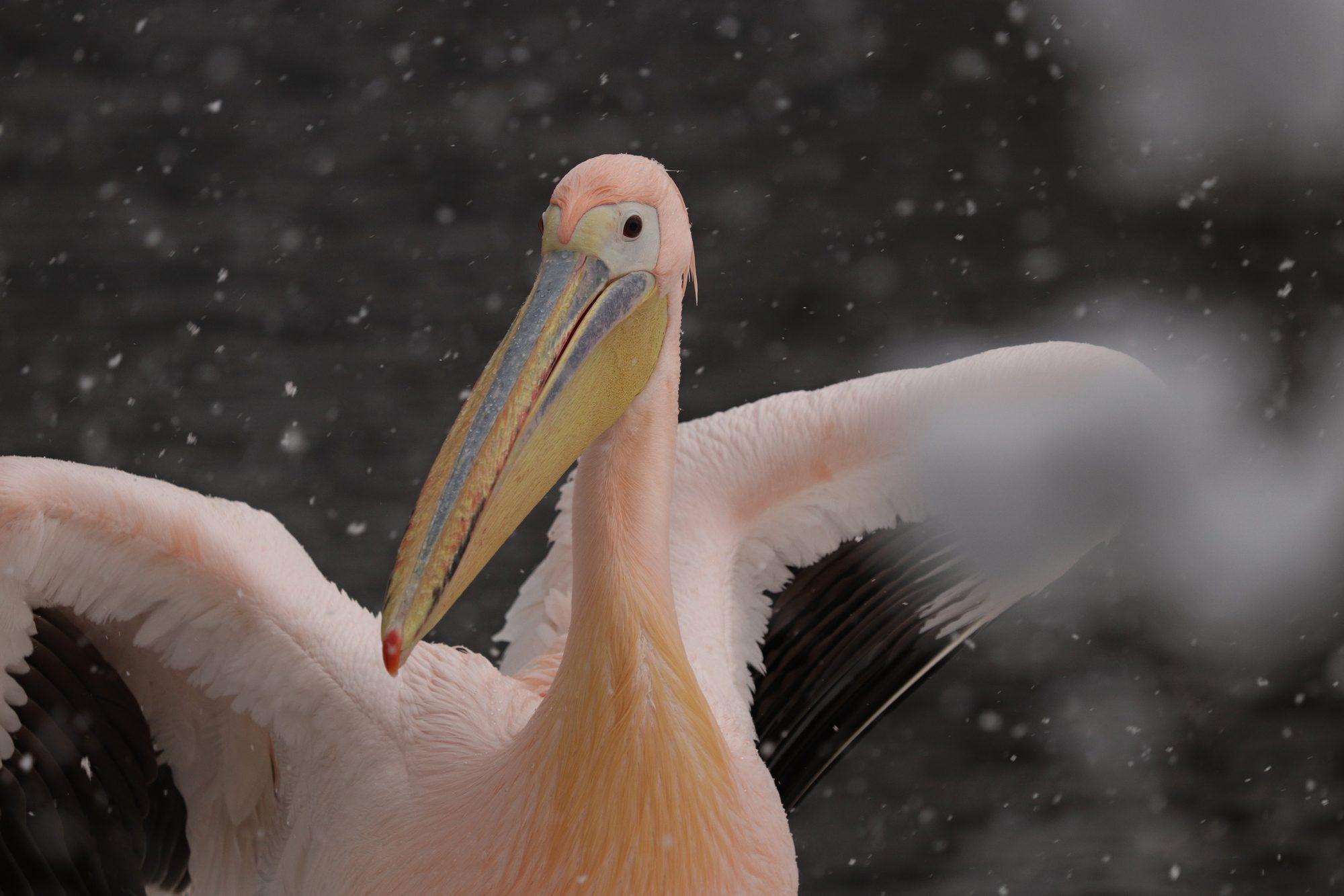 Rosa Pelikan im Tierpark Hellabrunn