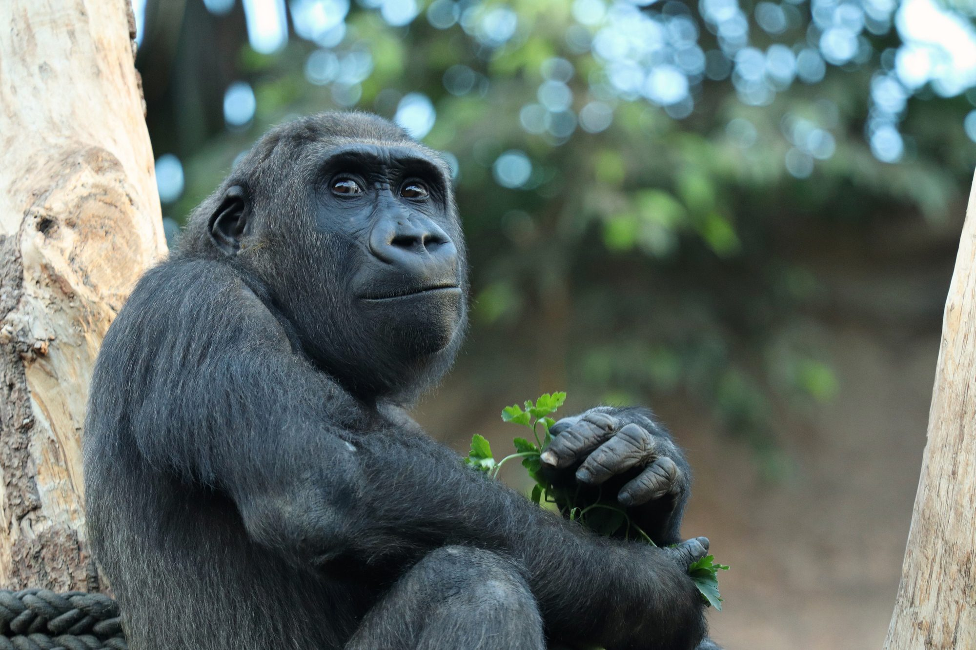 Gorilla Nafi im Tierpark Hellabrunn