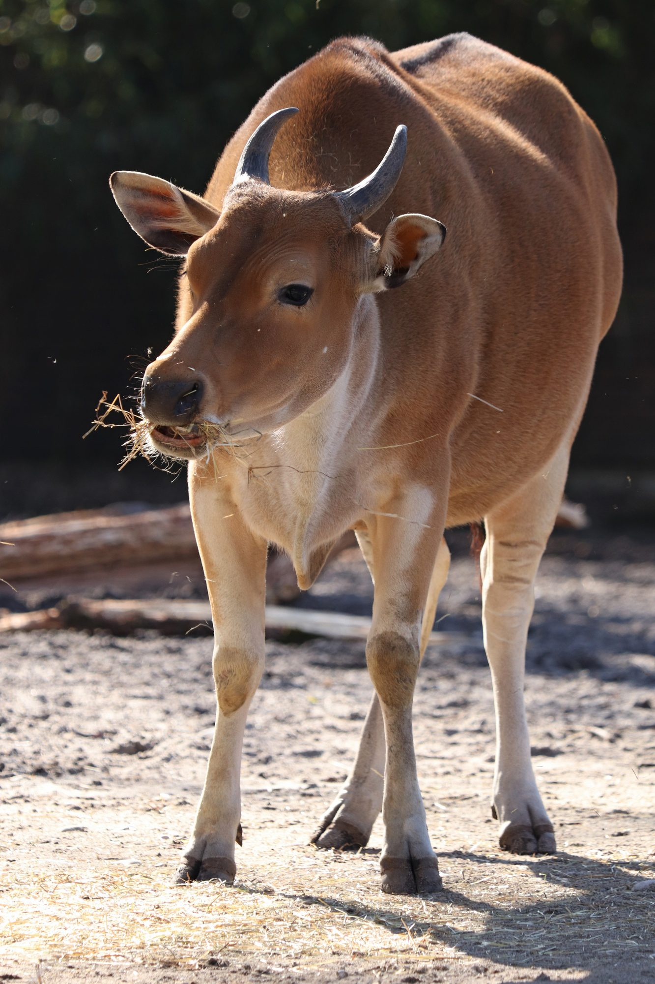 Java-Banteng im Tierpark Hellabrunn