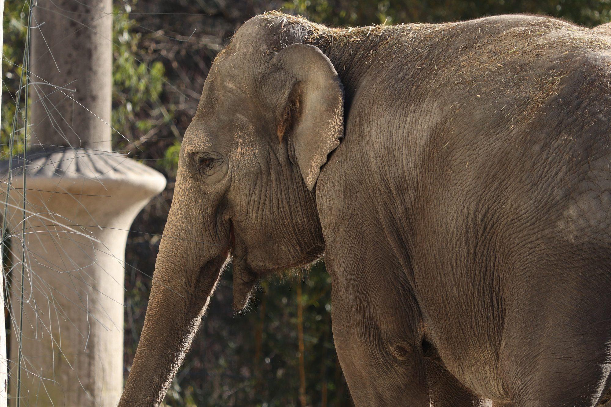 Asiatische Elefantenkuh Panang im Tierpark Hellabrunn