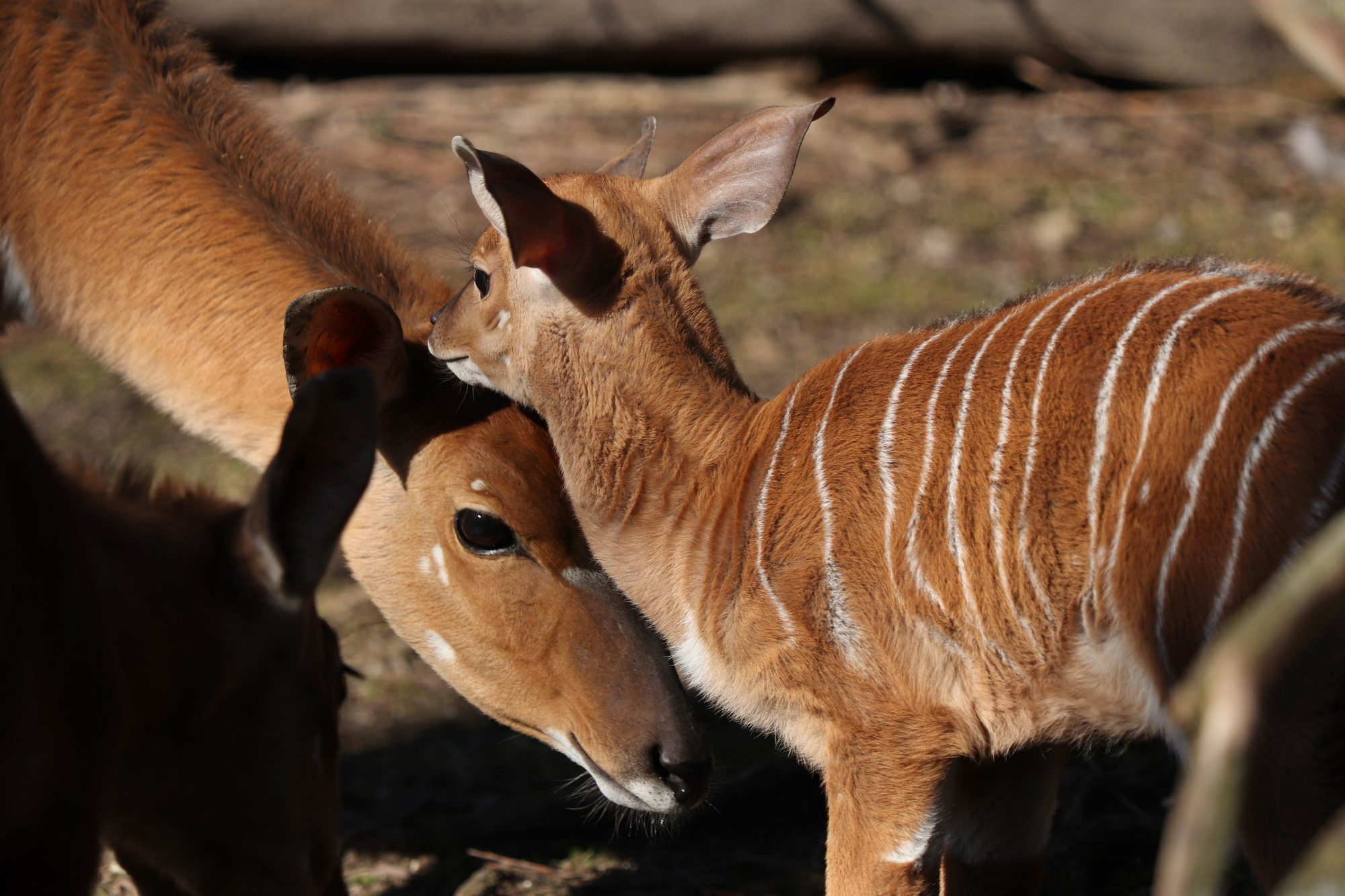 Tieflandnyalas mit Nachwuchs im Tierpark Hellabrunn