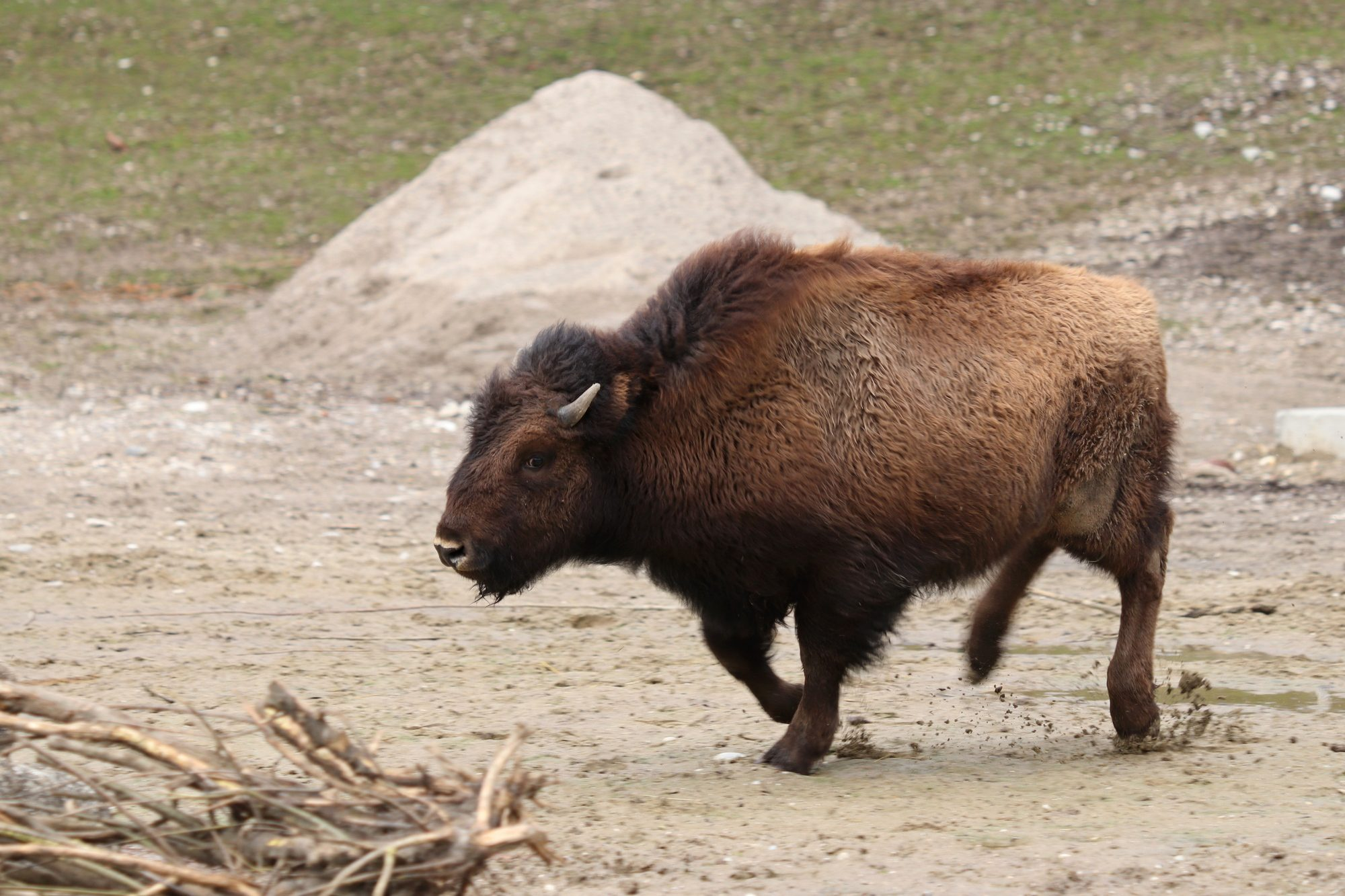 Junger Waldbison im Tierpark Hellabrunn