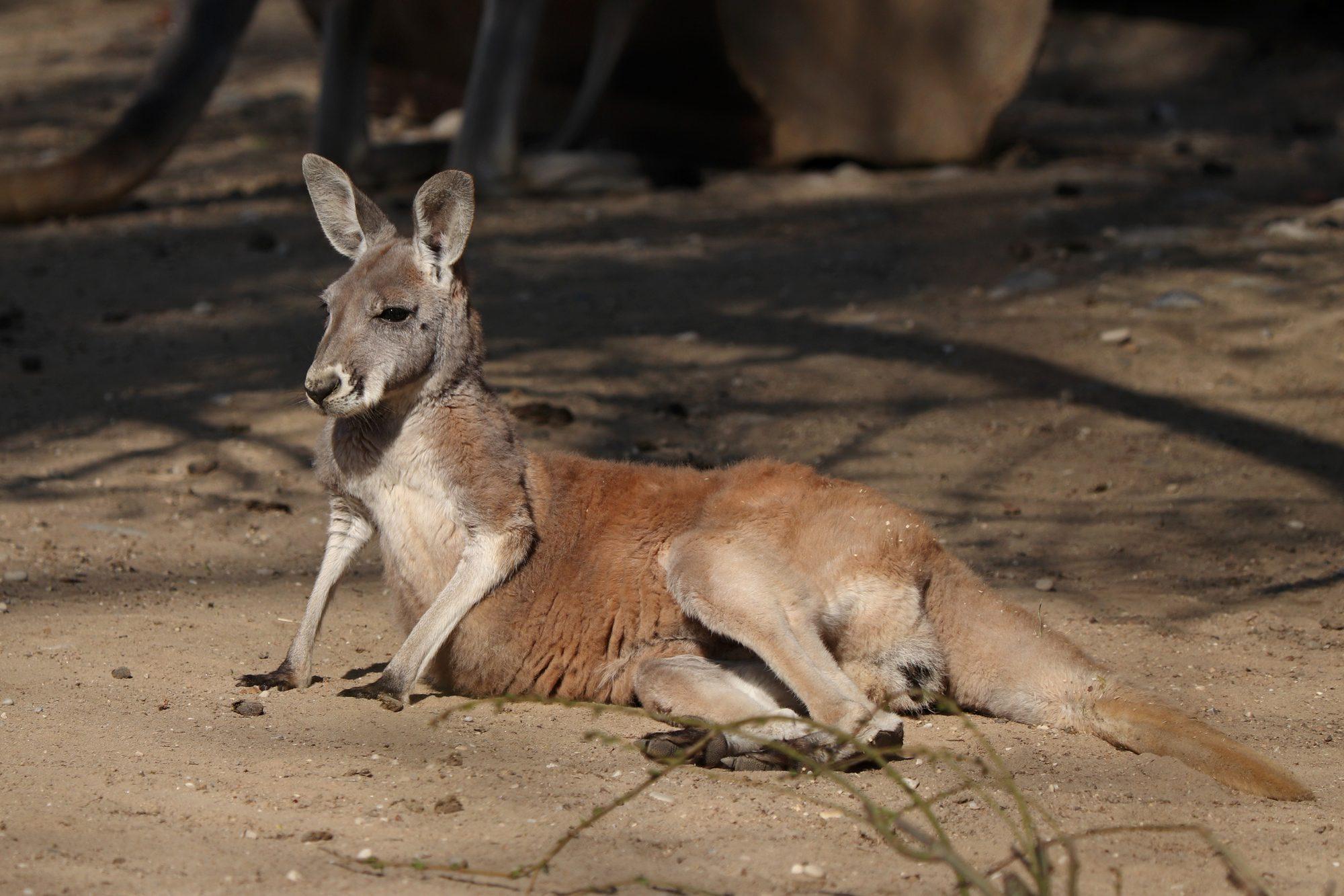 Rotes Riesenkänguru im Tierpark Hellabrunn