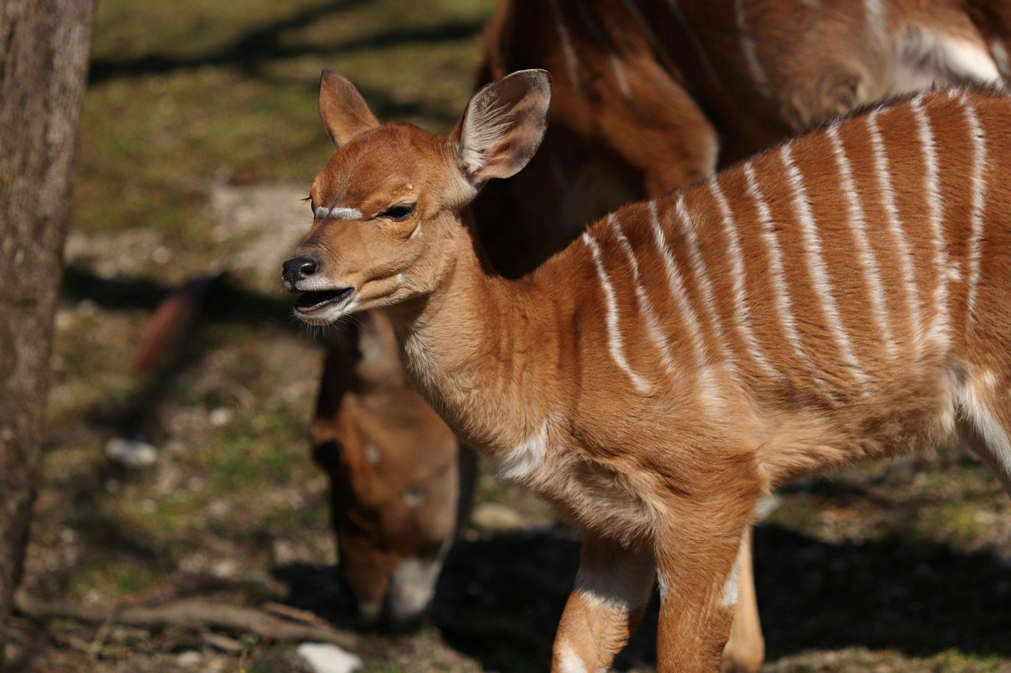 Nyala-Nachwuchs im Tierpark Hellabrunn