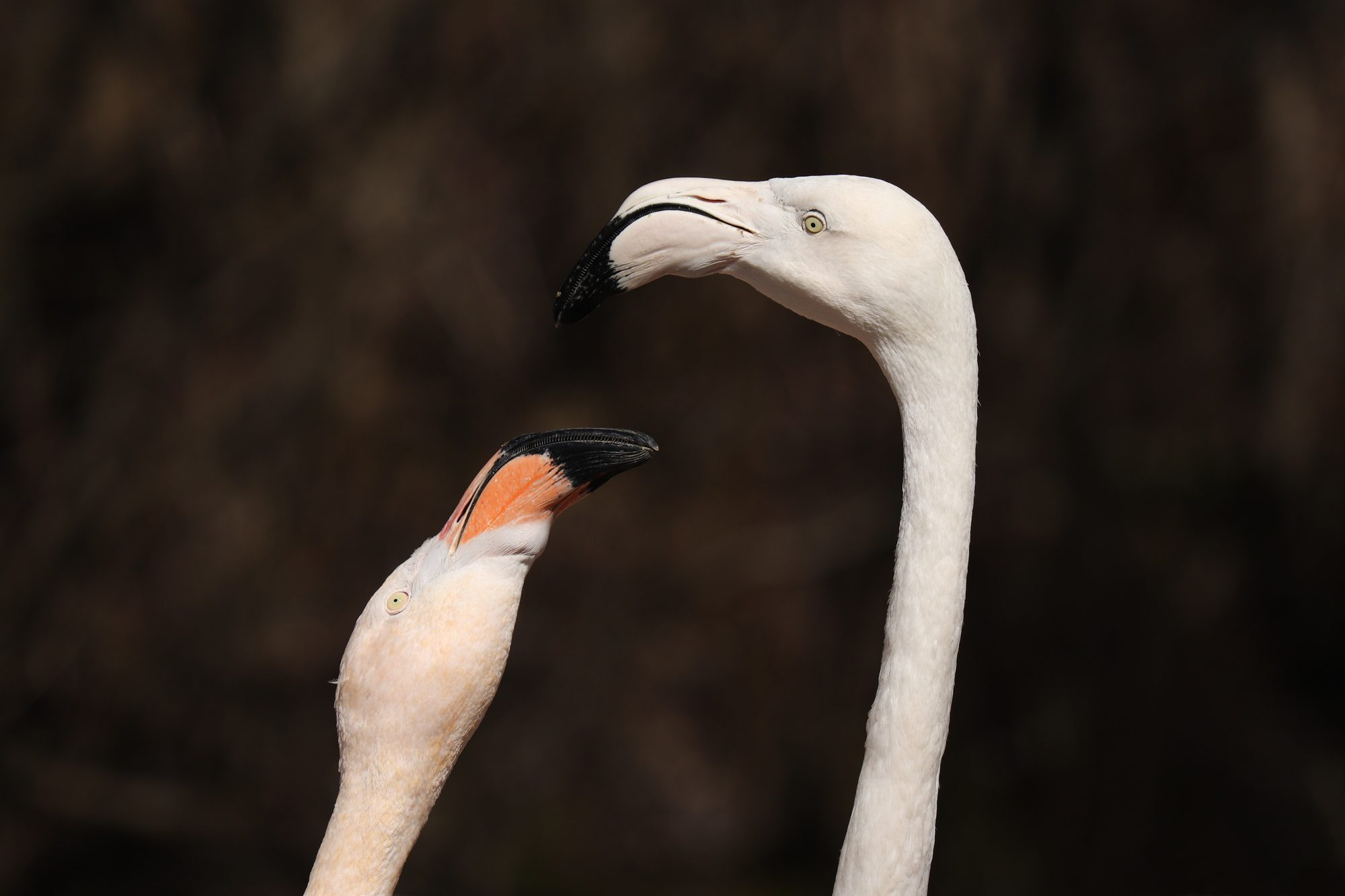Roas Flamingos im Tierpark Hellabrunn