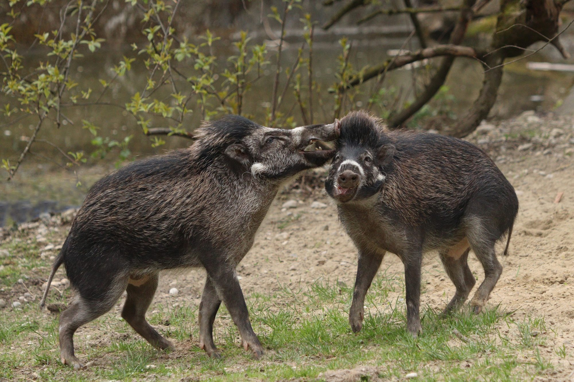Spielende Visayas-Pustelschweine im Tierpark Hellabrunn