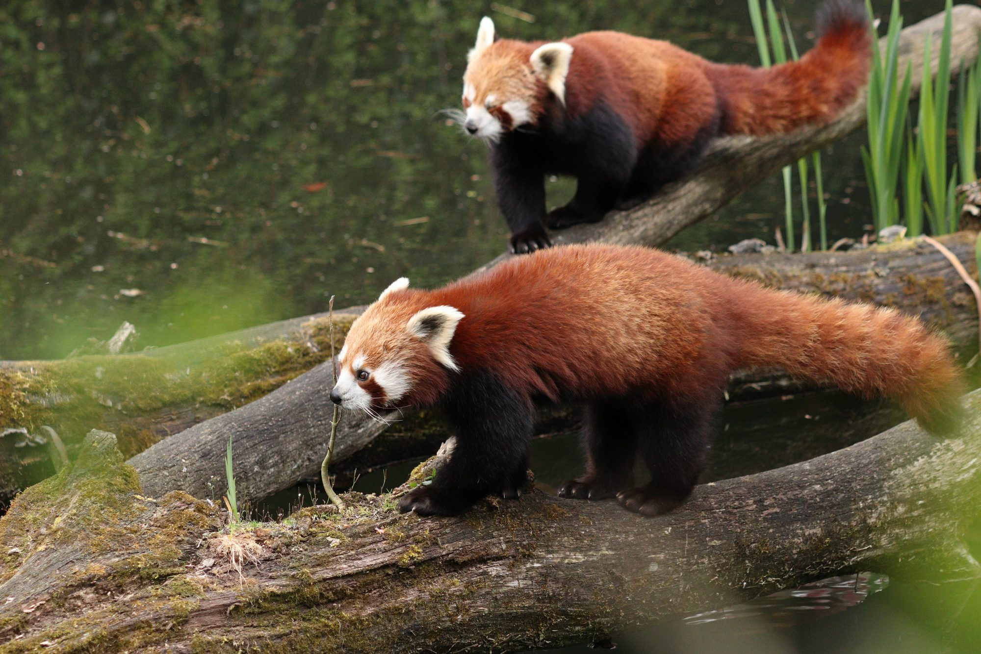 Rote Pandas Shamina und Miu im Tierpark Hellabrunn