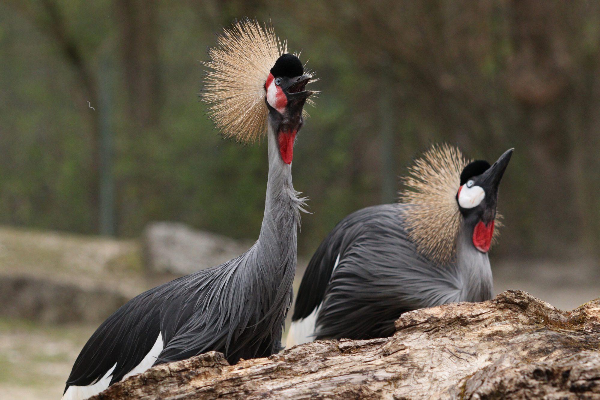 Grauhals-Kronenkraniche im Tierpark Hellabrunn