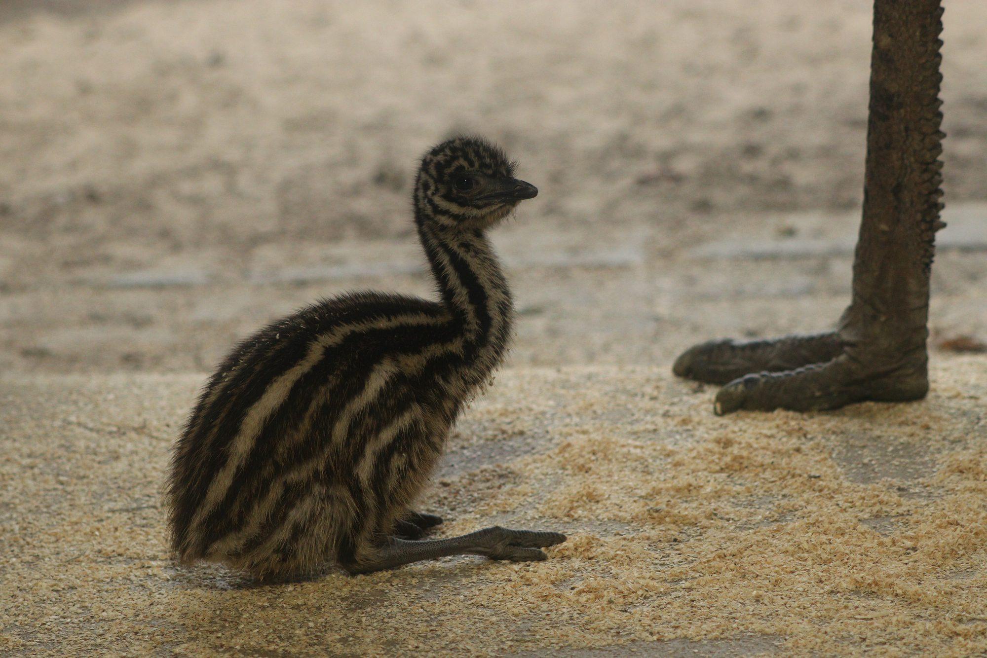 Emu-Küken im Tierpark Hellabrunn
