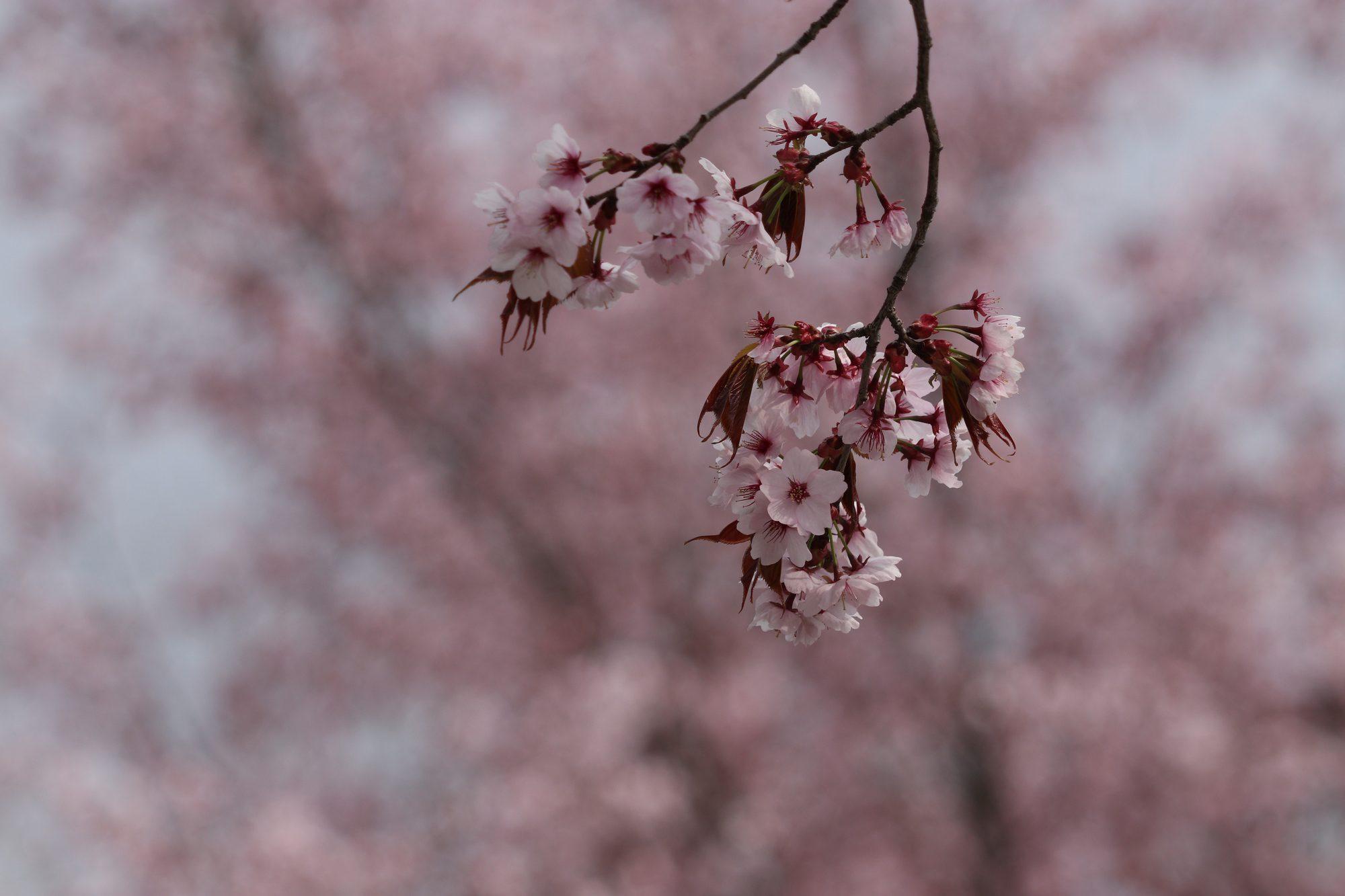 Kirschblüten im Tierpark Hellabrunn