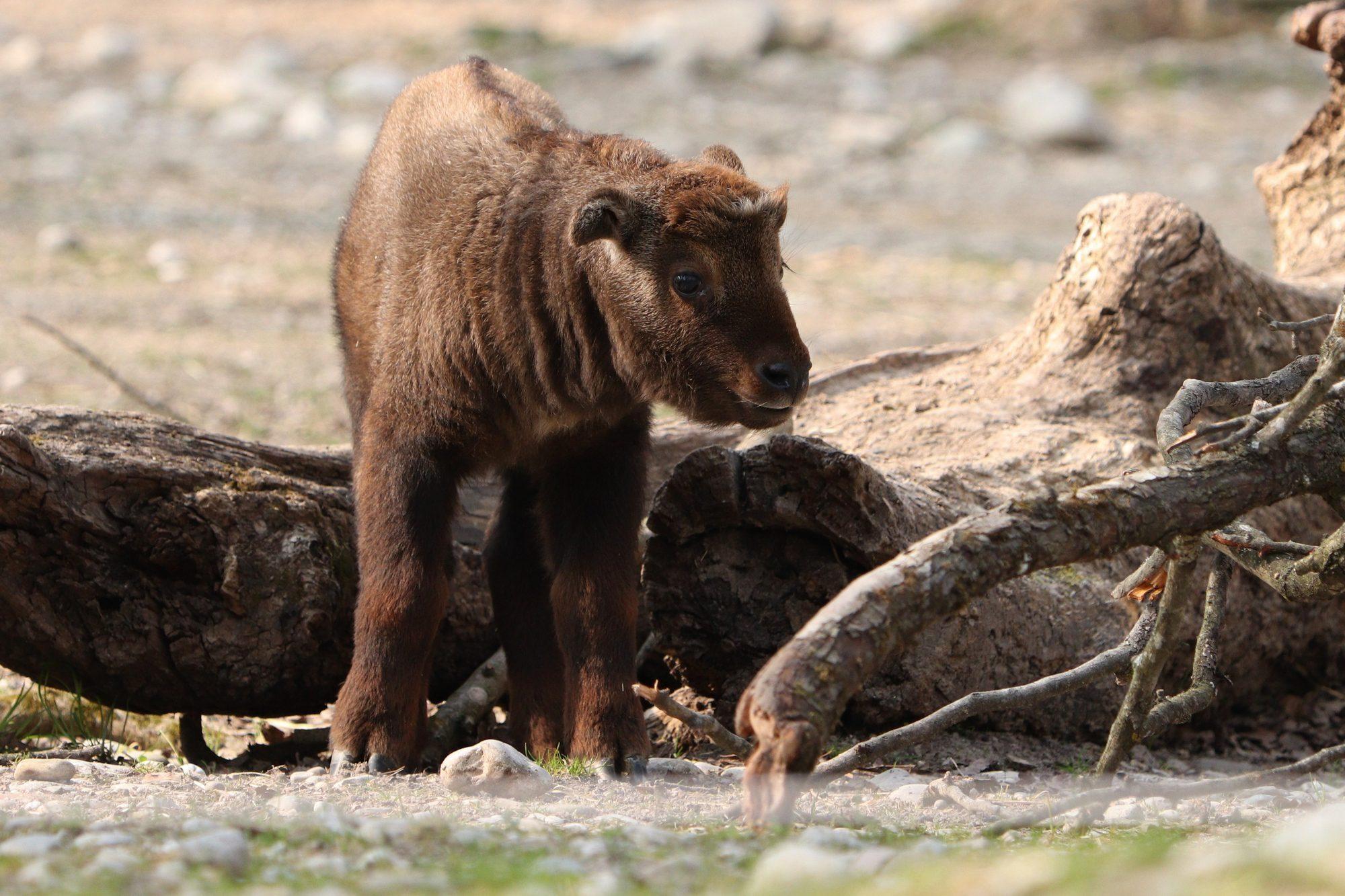 Junger Mishmi-Takin im Tierpark Hellabrunn