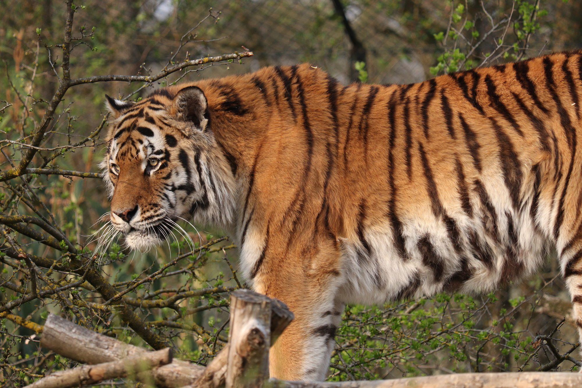 Sibirischer Tiger Jegor im Tierpark Hellabrunn