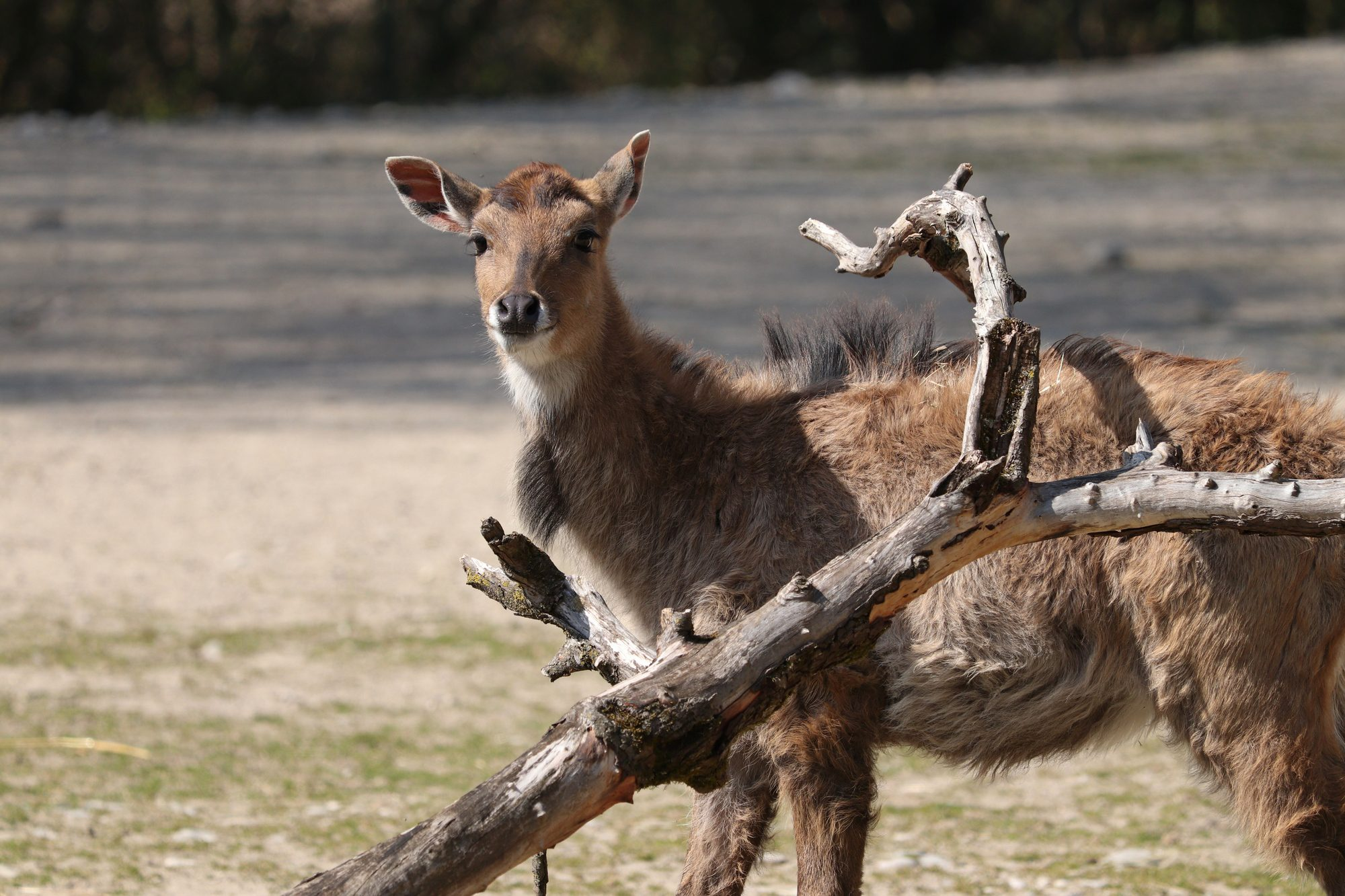 Nilgauantilope im Tierpark Hellabrunn