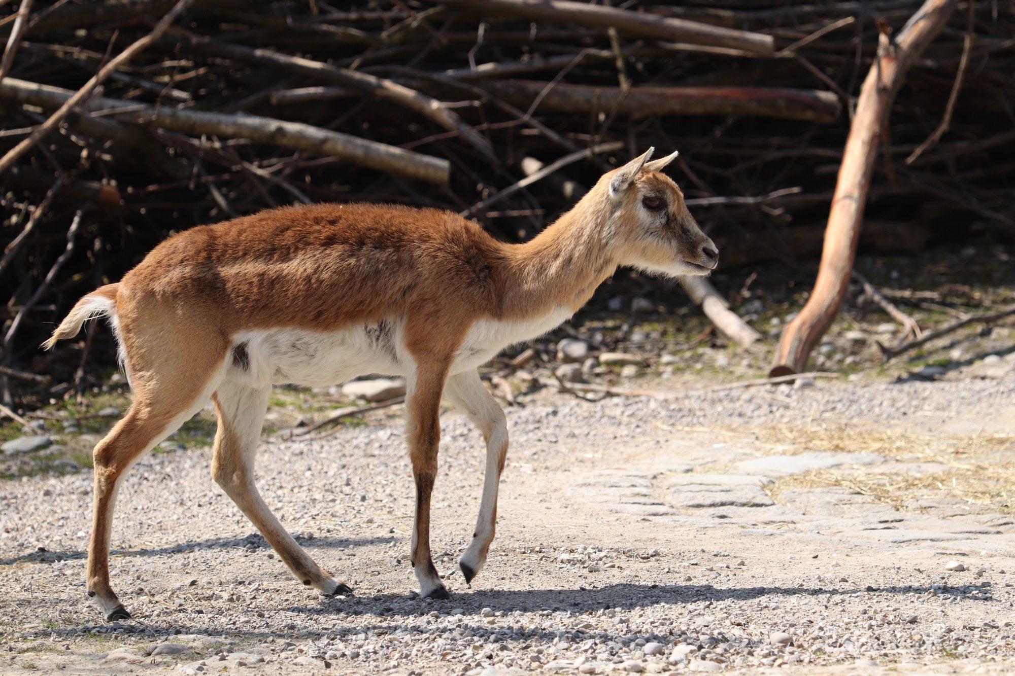 Hirschziegenantilope im Tierpark Hellabrunn