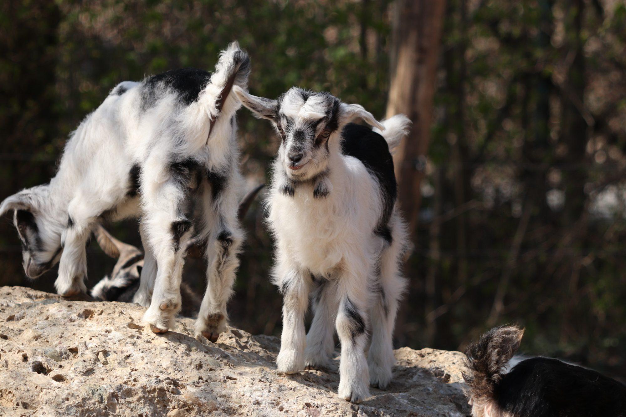 Junge Bulgarenziegen im Tierpark Hellabrunn