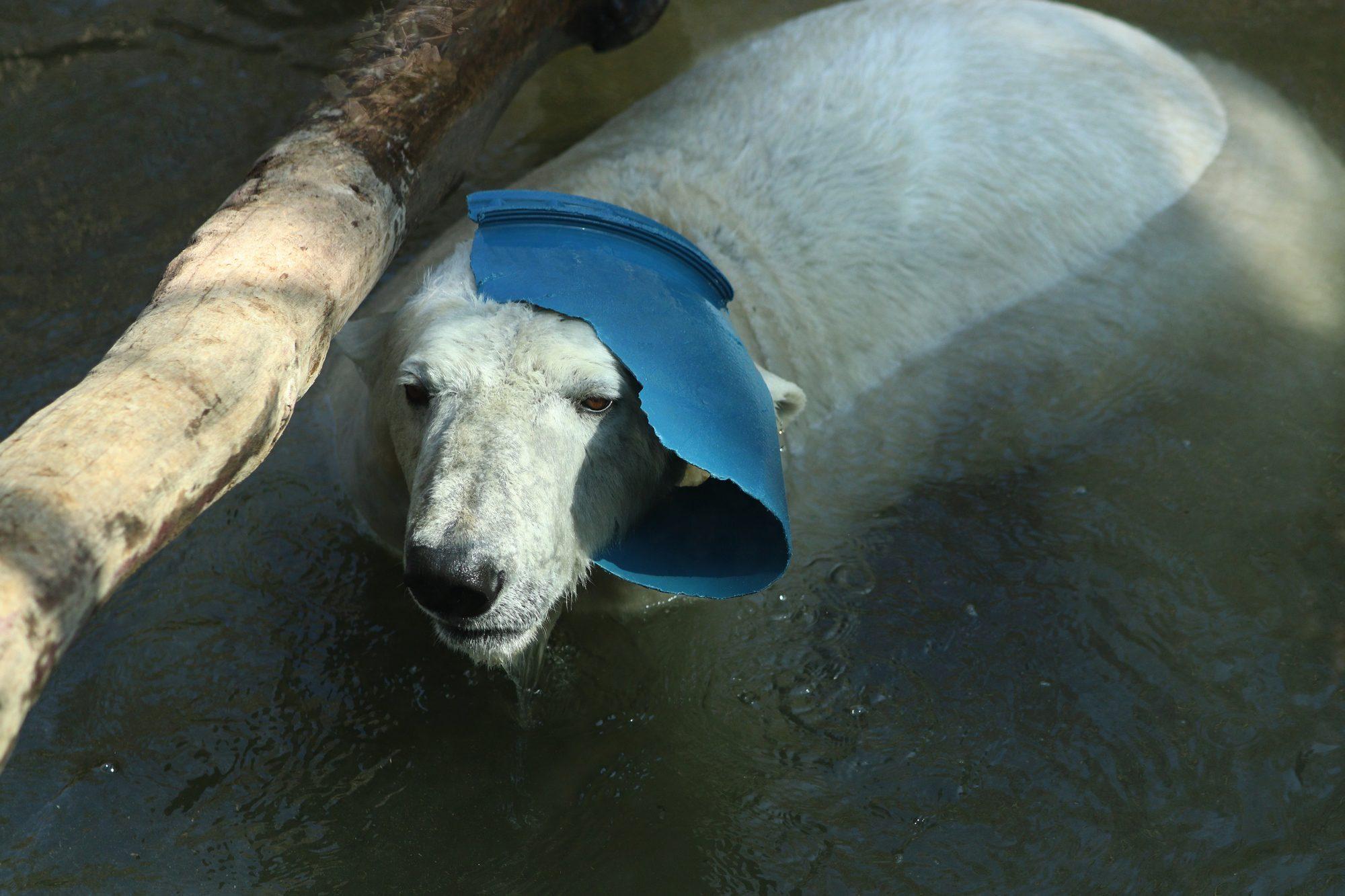 Eisbärin Giovanna im Tierpark Hellabrunn