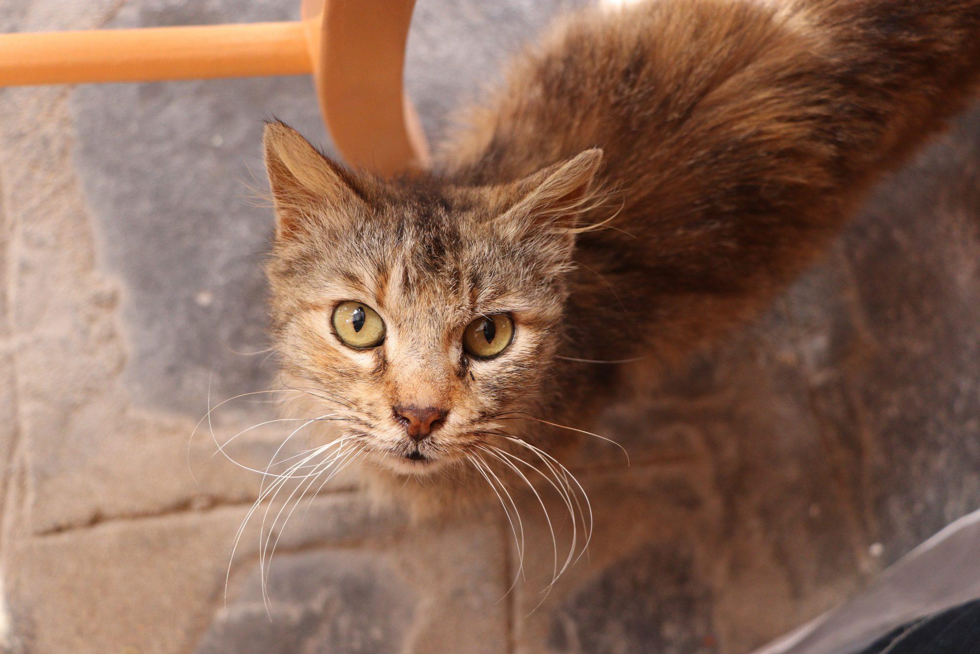 Katze in einer Taverne in Ano Mera auf Mykonos