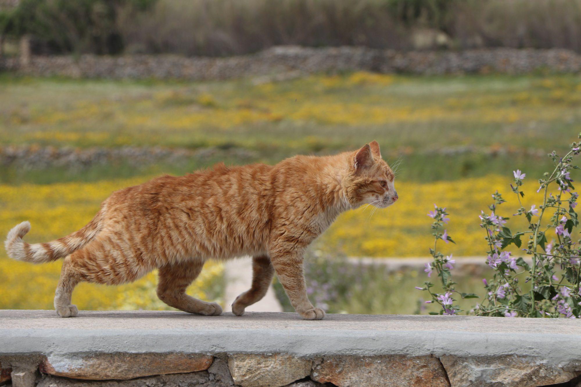 Katze in Ano Mera auf Mykonos