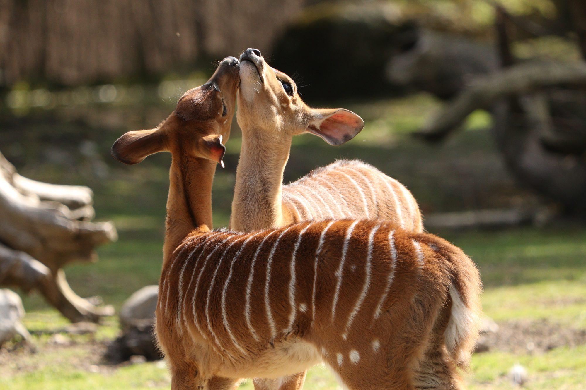 Junge Nyalas im Tierpark Hellabrunn