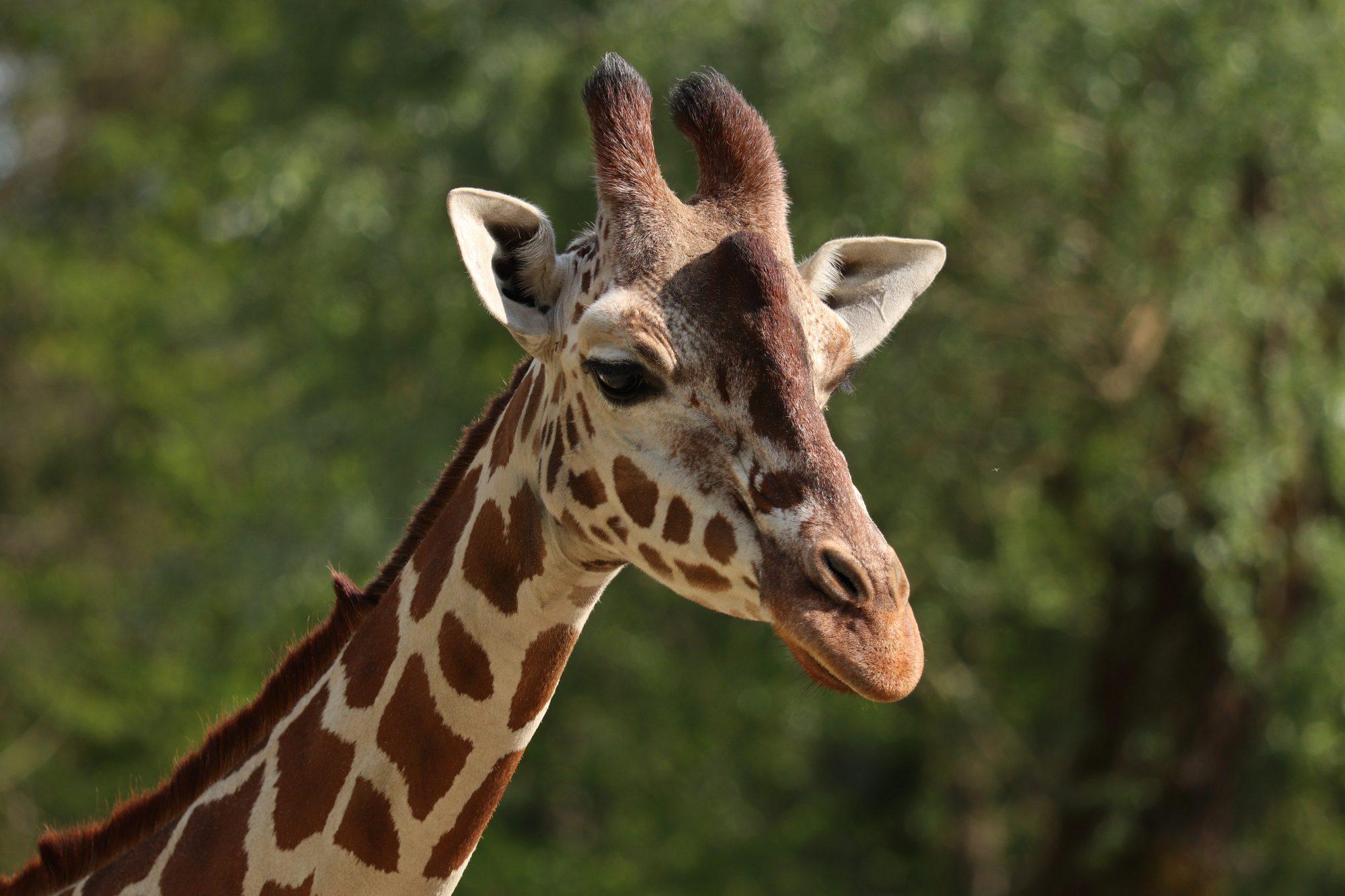 Netzgiraffe Bahati im Tierpark Hellabrunn