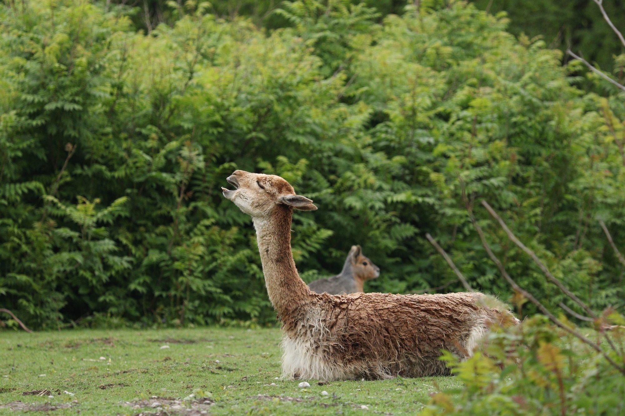 Gähnendes Vikunja im Tierpark Hellabrunn