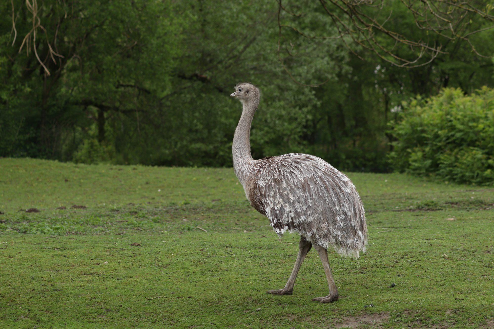 Darwin-Nandu im Tierpark Hellabrunn
