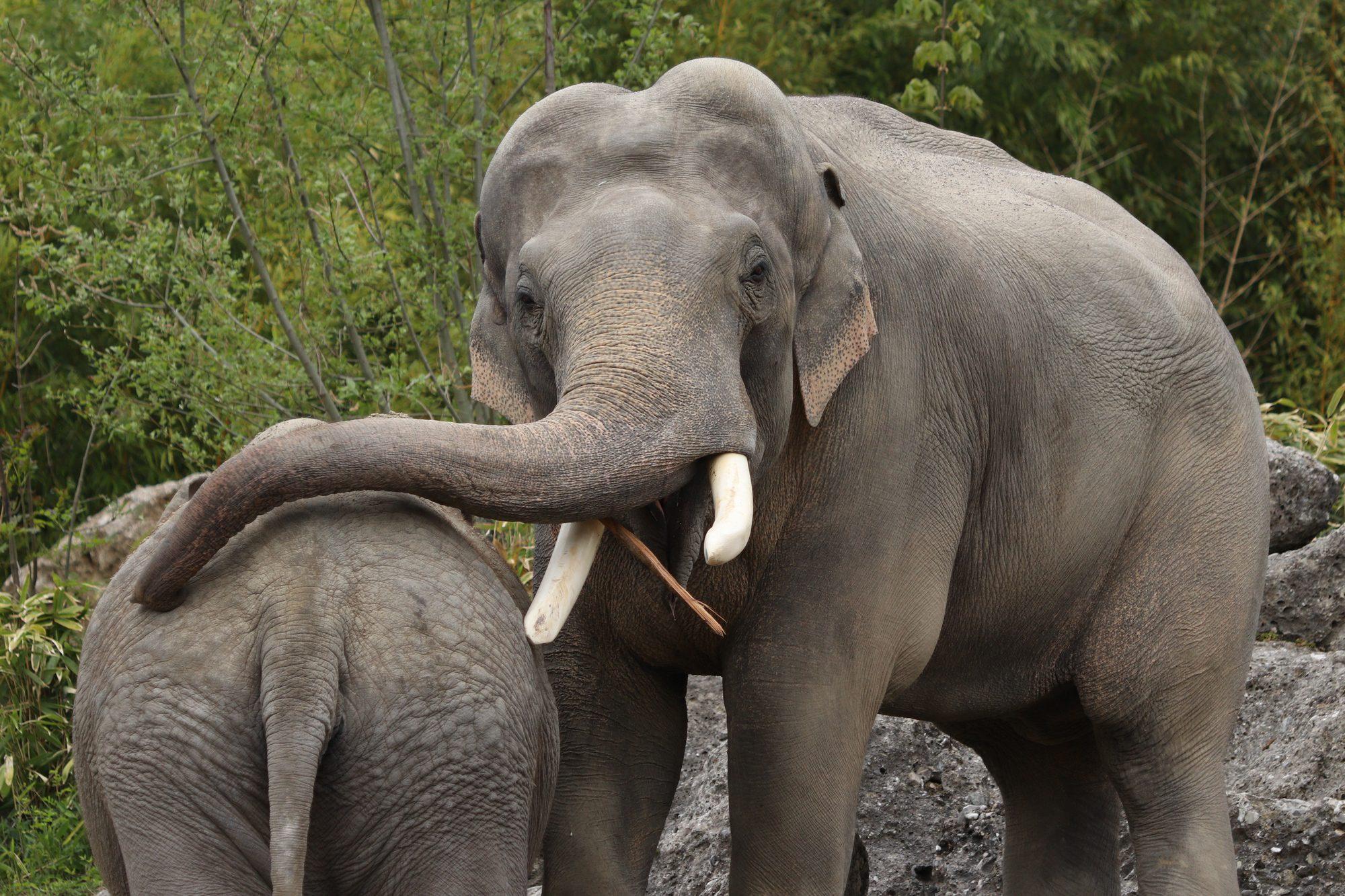Asiatische Elefanten Gajendra und Panang im Tierpark Hellabrunn