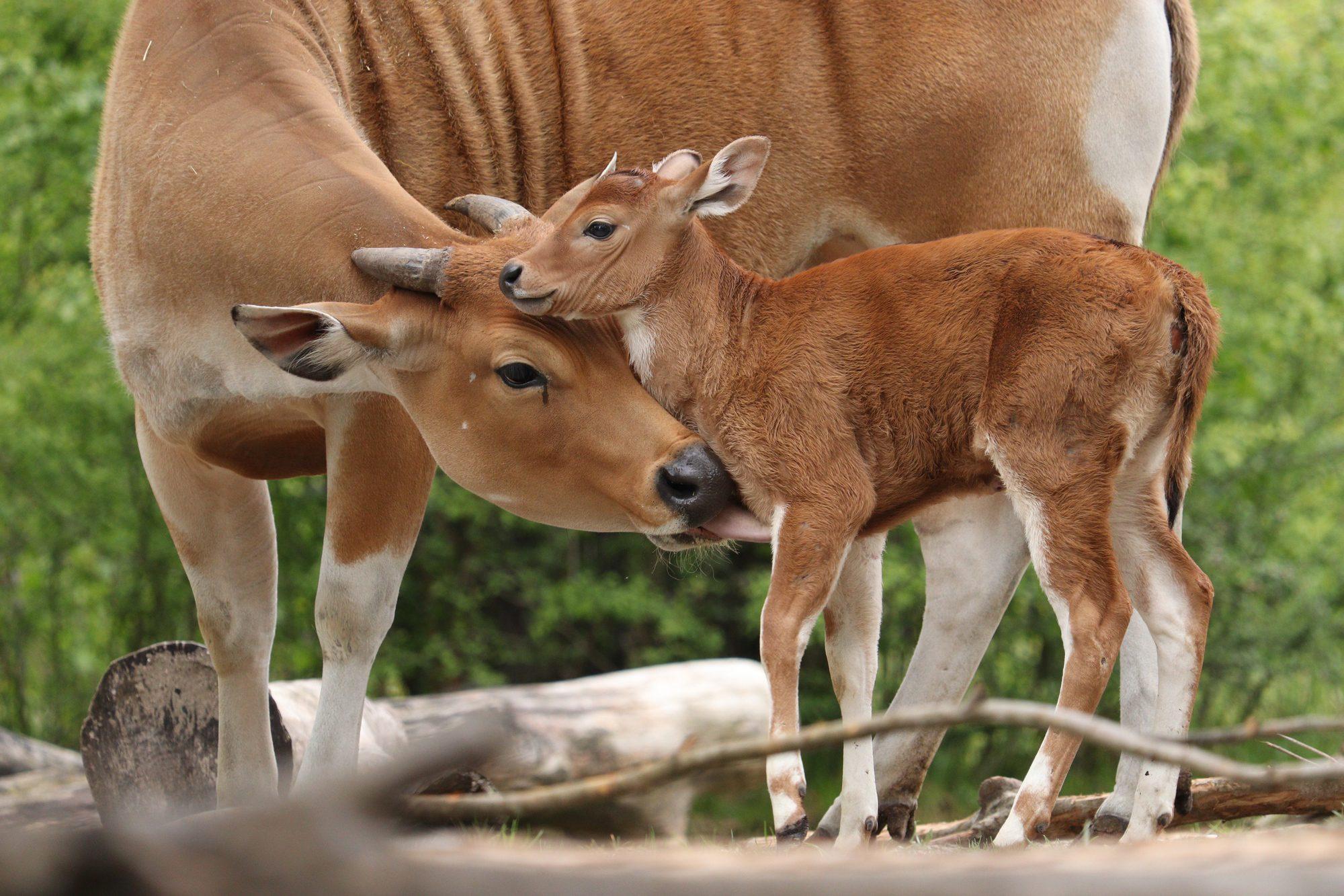 Java Banteng-Kalb mit Mutter im Tierpark Hellabrunn